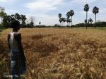 लॉकडाउन ग्रामीण अर्थव्यवस्था: खेतों में खड़ी फसल नहीं काट पा रहे किसान