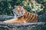 अमेरिका का बाघ कोरोना पॉजिटिव, भारत सतर्क