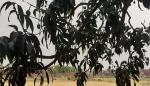 कोरोनावायरस ने बिगाड़ा बनारस के लंगड़ा आम का स्वाद