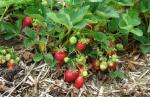 लॉकडाउन से कड़वी हुई स्ट्रॉबेरी किसानों की मिठास