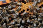 38 डिग्री से अधिक तापमान रानी मधुमक्खी के लिए सही नहीं: रिसर्च