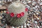 हल्द्वानी में कैक्टस फूलों की बहार