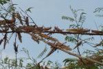 मध्यप्रदेश के 40 जिलों में तबाही मचाने के बाद अब भोपाल पहुंचा टिड्डी दल
