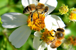 जंगली मधुमक्खियों और देशी पौधों की 94% प्रजातियां हो गई गायब