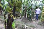 केले का कैंसर:सोच रहा 30 वर्षों की खेती छोड़ दूं