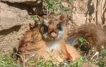 उत्तराखंड में विलुप्त हो चुकी उड़न गिलहरी की मौजूदगी के संकेत