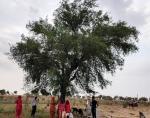 सूख रही है राजस्थान की धरोहर खेजड़ी