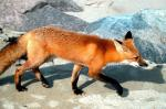 कैसे कूड़ा और सड़कें बनी लुप्तप्राय आर्कटिक लोमड़ी की जान के लिए आफत