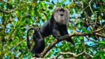 How pumped storage project inside Sharavathi Valley can threaten lion-tailed macaque