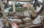 वन्य प्राणियों के लिए मौत का फंदा बनती जा रही हैं बिजली की तारें