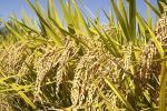 धान के पौधों को बीमारियों से बचाने वाले जीवाणु की पहचान