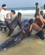 Whale shark caught in fishing net in Odisha, released into Bay of Bengal