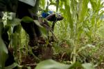 Why maize is causing trade tensions between Kenya and its neighbours
