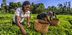 Kenyan tea is under threat due to climate change: Report