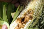 हर साल 40 फीसदी पैदावार को चट कर जाते हैं कीड़े, जलवायु परिवर्तन के साथ और बढ़ रहा है खतरा