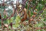 Researchers re-animate 70-year-old coffee killer fungus in Africa: Study