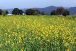 Mustard oil blending banned: How 30 years of regulation affected health, farmer profits
