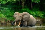 How forest elephants move depends on water, humans and also their personality