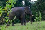 अकेले रहना पसंद करते हैं एशियाई नर हाथी: अध्ययन