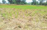 Bihar farmers stare at huge loss of Kharif crops due to erratic monsoon rainfall
