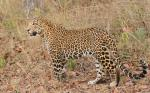 India's leopard count jumps 63% in just 4 years