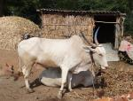 Climate crisis: Way forward for dairy giants in India
