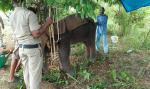 Wild elephant tests positive for herpes virus in Odisha forest