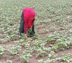 दाल का संकट: दलहन छोड़ सोयाबीन की खेती कर रहे हैं किसान