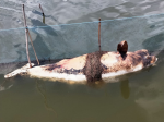 Irrawaddy dolphin found dead in Chilika