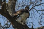 Raptor attention: 160 species of birds of prey endangered worldwide