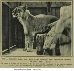 The forgotten tigons and litigons of Alipore Zoo and other hybrids: Part 2