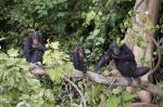 West Africa's chimpanzee population impacted by road construction: Study