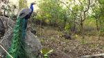 Peafowl population is growing in Kerala. But are they threatening humans?