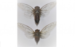 New cicada species in Nagaland underscores need for conservation