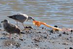 52 फीसदी पक्षियों ने निगला प्लास्टिक, शरीर में पाया गया प्लास्टिक से संबंधित केमिकल: अध्ययन