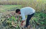 समर्थन मूल्य से आधे में मक्के की फसल बेचने के मजबूर मध्य प्रदेश के किसान