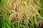 GMO rice from India withdrawn in EU: Indian coalition asks for action