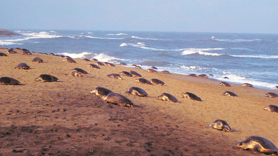 The hatchlings emerge from the eggs at night after an incubation period of 50 days  Read Story: Olive Ridley turtles give Gahirmatha beach a miss this year