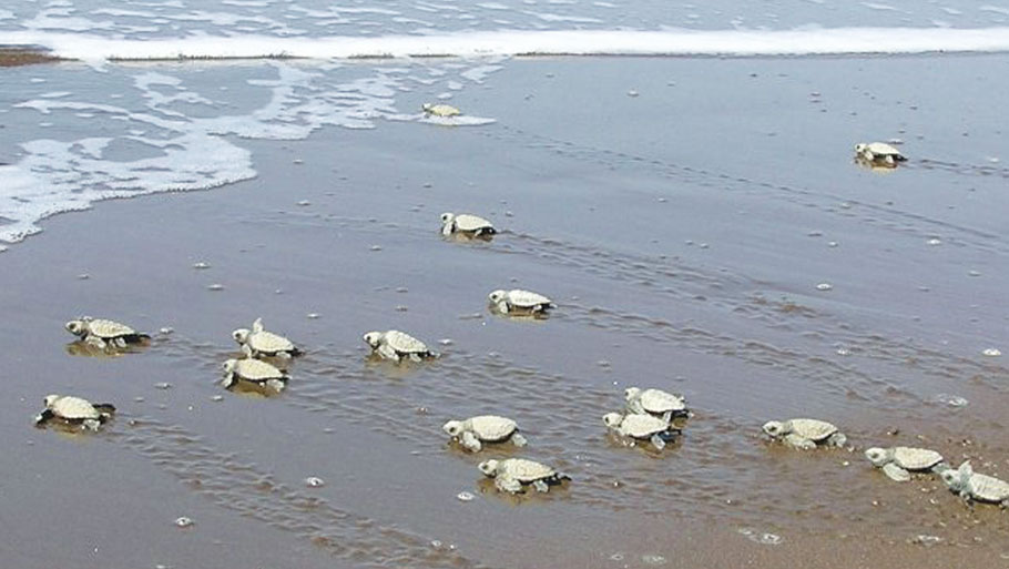 Olive Ridleys mate offshore and nest on the beaches between December and March (Photo: Sumer Verma / Greenpeace) Read Story: Olive Ridley turtles give Gahirmatha beach a miss this year