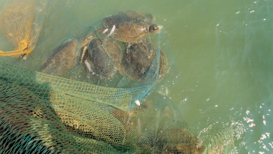 Turtles trapped in fishnets. Illegal fishing activity is a major threat to the Olive Ridleys. Fishing near Gahiramatha beach is banned from November 1 to May 31, 20 km from the coast in the marine sanctuary Read Story: Olive Ridley turtles give Gahirmatha beach a miss this year