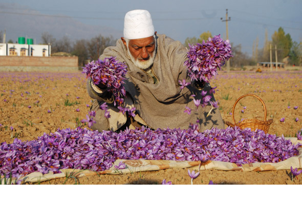 Sacks of the flowers are taken home for further processing Photographs by: Imran Nissar