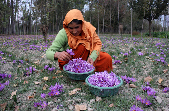 During late autumn, farmers of Pampore, wearing homespun  clothes, can be seen picking saffron (Crocus sativus) flowers. At a furious pace and heaping them in wicker baskets. The harvesting season is marked by chatter, ring of laughter and men smoking hubble bubbles beneath trees. But farmers these days are a worried lot. Crop yields have declined by 50 to 60 per cent  Photographs by: Imran Nissar