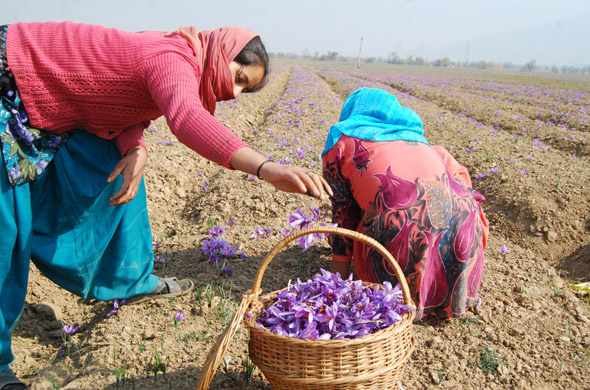 The flowers are picked every four days Photographs by: Imran Nissar