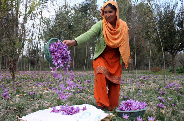 Approximately 5,000 flowers are needed to yield enough threads for just an ounce of saffron Photographs by: Imran Nissar