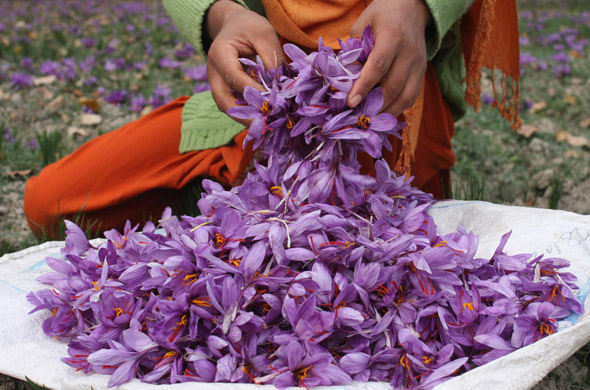 Saffron harvesting is a labour intensive job as flowers have to be handpicked and the slender threads extracted carefully  Photographs by: Imran Nissar