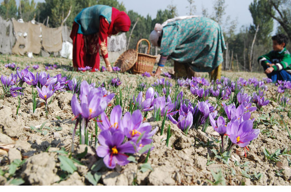 The ideal environment for yielding saffron is cool dry climate and soil rich in organic content. Saffron is not grown in any other fertile, alluvial plateau in Kashmir. Residents claim the soil of Pampore has a certain magical quality that helps the flowers bloom and acquire stigmas with a rich aroma Photographs by: Imran Nissar