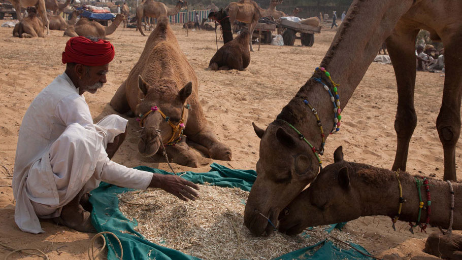 But the steady drop in the number of camels has been the most worrying finding of every livestock census in the past two decades. From 1992 until 2012, the population of camels has declined by more than 56 per cent, from 750,000 to 330,000