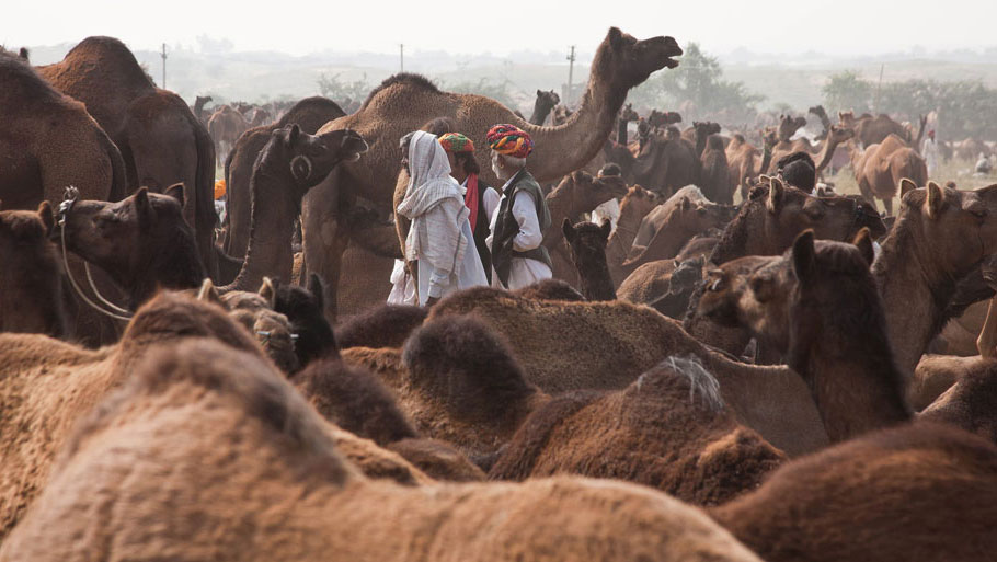 To protect camels, the state government is in the process of enacting the Rajasthan Bovine Animal (Prohibition of slaughter and regulation of temporary migration or exports of camel) Bill 2014. The proposed restrictions on migration have started affecting the sale of camels, the source of livelihood of Raikas