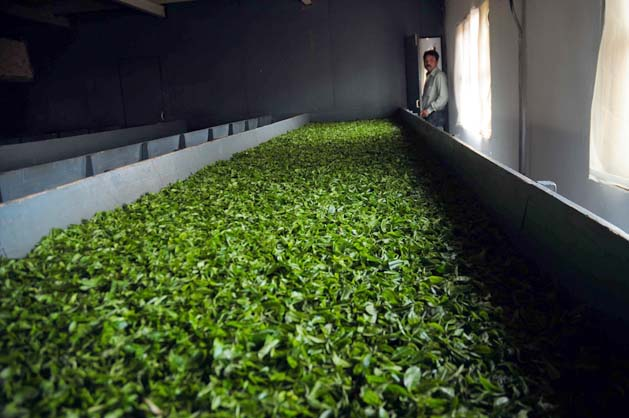 First flush Darjeeling tea is trucked to the factory.   Read full story:  Simmering discontent over tea Photograph by: Sayantan Bera