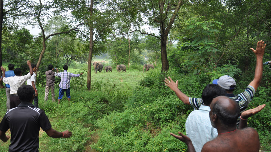 The conflict is not restricted to the areas where elephants have traditionally been found. In fact, a large number of conflicts are being reported from regions that have had no elephant population for at least half a century. Seen in the picure is a herd of wild elephants which found its way to Rourkela city. Fearing rampage, foresters drove it inside Birsa Stadium (Photo: Uttam Kumar Pal) Read story: Jumbo conflict